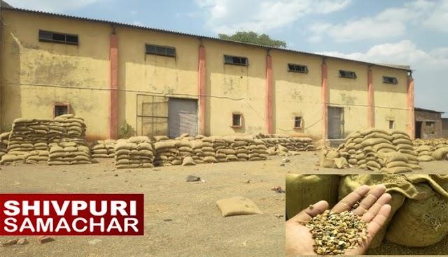 श्री गणेश बेयर हाउस, चना खरीदी में भ्रष्टाचार: 1500 बोरी अमानक चना खरीद लिया | Badarwas News