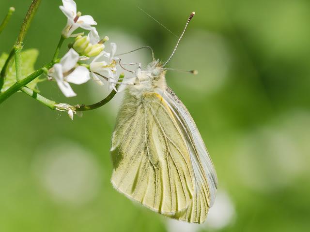 Weißling (Pieridae) -  In Deutschland kommen ca 15 Arten vor