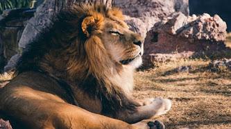 Wallpaper: Lion King from Phoenix Zoo