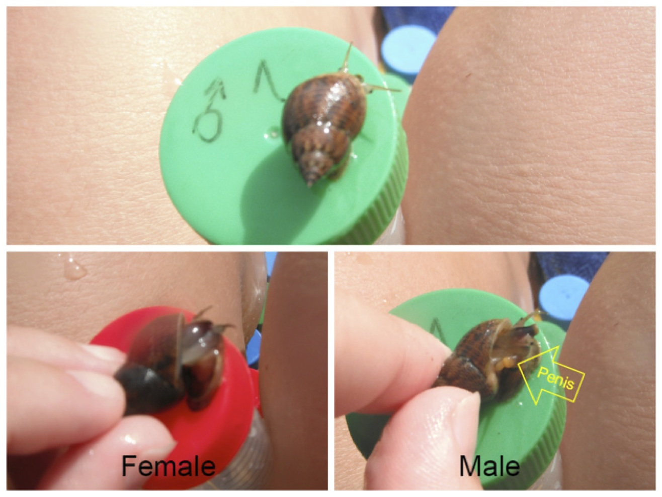 How can you tell the sex? Well, the normal way, males have a penis. Just  tip the shell up a little and have a look.