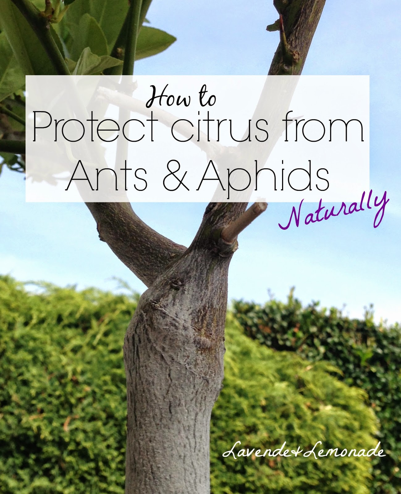 Simple, natural tip to keep citrus trees free of Ants and Aphids