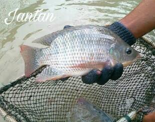 Cara Membedakan Ikan Nila Jantan dan Betina