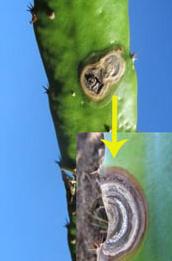 Virus Buah Naga Busuk Pangkal Batang