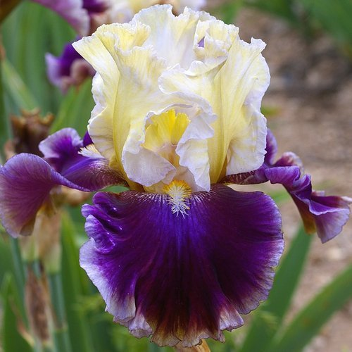 Iris 'Fascinant'