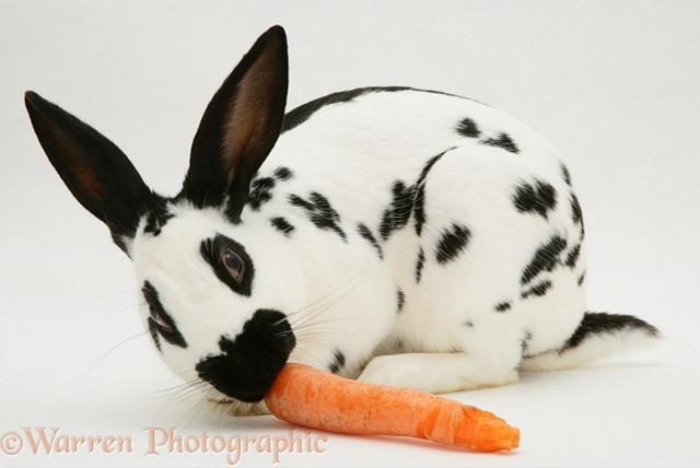 Creelo O No Las Zanahorias No Son Buenas Para Los Conejos Conejos Colombia  2 buscamos a la zanahoria y lo llevamos del punto a al b, al estar en el punto b volvemos a llegar al conejo al punto a . creelo o no las zanahorias no son