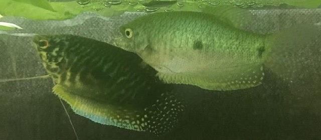 Cara Budidaya Dwarf Gourami (Ikan Gourami Hias ) dalam Akuarium dan Kolam