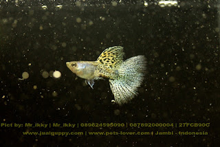 Jual Yellow Gold Grass Snake Skin Guppy,  Harga Yellow Gold Grass Snake Skin Guppy,  Toko Yellow Gold Grass Snake Skin Guppy,  Diskon Yellow Gold Grass Snake Skin Guppy,  Beli Yellow Gold Grass Snake Skin Guppy,  Review Yellow Gold Grass Snake Skin Guppy,  Promo Yellow Gold Grass Snake Skin Guppy,  Spesifikasi Yellow Gold Grass Snake Skin Guppy,  Yellow Gold Grass Snake Skin Guppy Murah,  Yellow Gold Grass Snake Skin Guppy Asli,  Yellow Gold Grass Snake Skin Guppy Original,  Yellow Gold Grass Snake Skin Guppy Jakarta,  Jenis Yellow Gold Grass Snake Skin Guppy,  Budidaya Yellow Gold Grass Snake Skin Guppy,  Peternak Yellow Gold Grass Snake Skin Guppy,  Cara Merawat Yellow Gold Grass Snake Skin Guppy,  Tips Merawat Yellow Gold Grass Snake Skin Guppy,  Bagaimana cara merawat Yellow Gold Grass Snake Skin Guppy,  Bagaimana mengobati Yellow Gold Grass Snake Skin Guppy,  Ciri-Ciri Hamil Yellow Gold Grass Snake Skin Guppy,  Kandang Yellow Gold Grass Snake Skin Guppy,  Ternak Yellow Gold Grass Snake Skin Guppy,  Makanan Yellow Gold Grass Snake Skin Guppy,  Yellow Gold Grass Snake Skin Guppy Termahal,  Adopsi Yellow Gold Grass Snake Skin Guppy,  Jual Cepat Yellow Gold Grass Snake Skin Guppy,