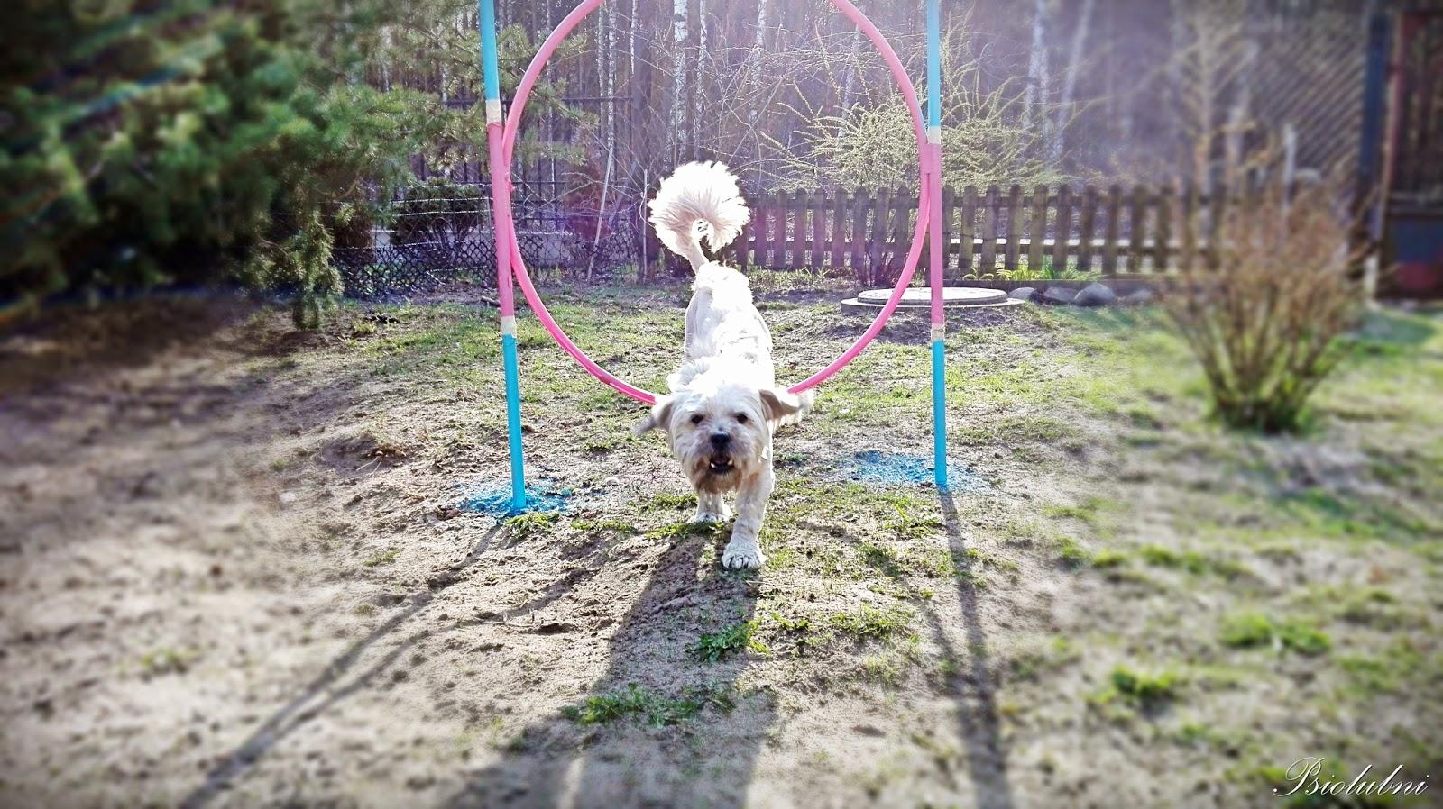 trening z psem, psie sztuczki, ćwiczenia, podstawy wychowania, wychowanie psa, sesja,