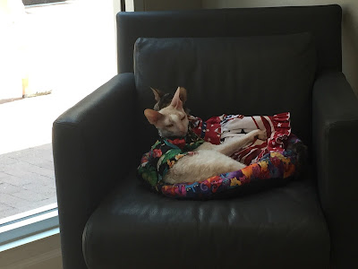 Coco the Couture Cat and Brighton, Cornish Rex cats, curled up in a chair