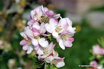 Fleurs de pommier.