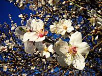 Cvijetanje badema, Podhume otok Brač slike