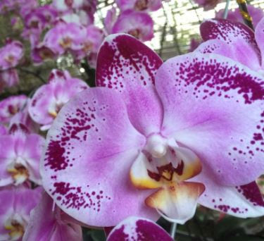 Mengenal Jenis Jenis Bunga Anggrek Bulan Rumah Daun Muda