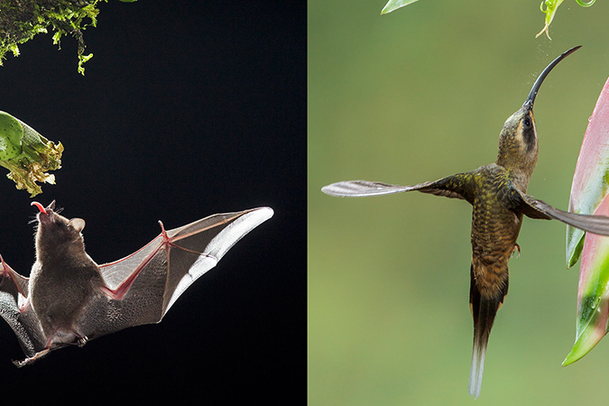 Penelitian Biomechanics of Hover Performance in Neotropical Hummingbirds Versus Bats