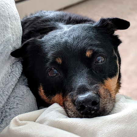 image of Zelda the Black and Tan Mutt resting her chin on a blanket on the couch beside me, looking up at me with plaintive eyes