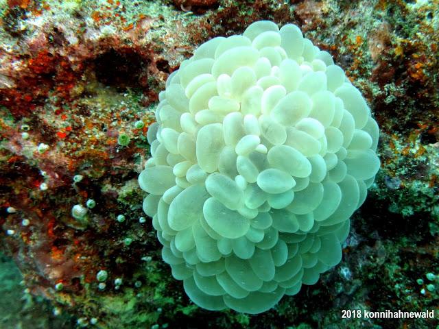 konnihahnewald, uw photography, andaman sea, bubble coral, indonesia, sumatra, sabang, pulau weh, iboih beach