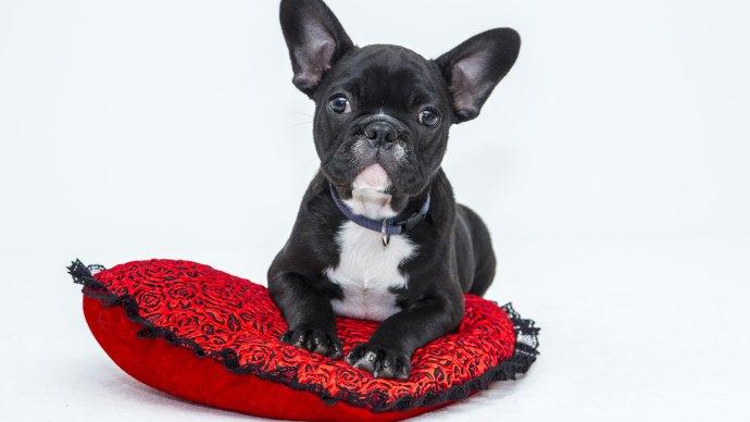 Wallpaper: Bulldog Puppy