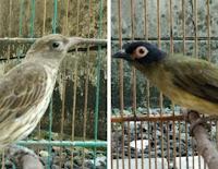 Burung Ara Mata Merah Sepasang