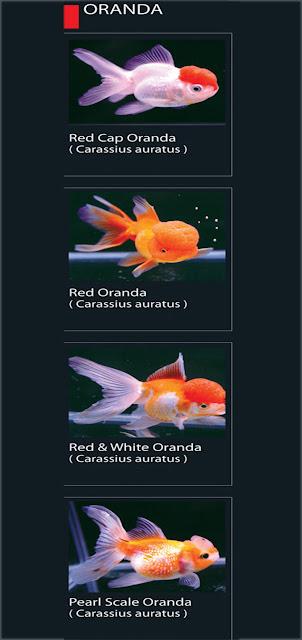 1. Red cap Oranda  Nama Latin Carassius Auratus   2. Red Oranda Nama Latin Carassius Auratus   3. Red & White Oranda  Nama Latin Carassius Auratus 4. Pearl Scale Oranda   Nama Latin Carassius Auratus