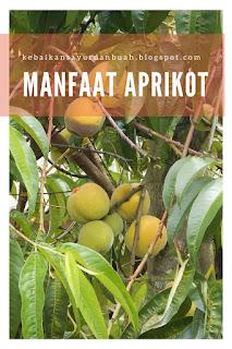 pohon buah Aprikot