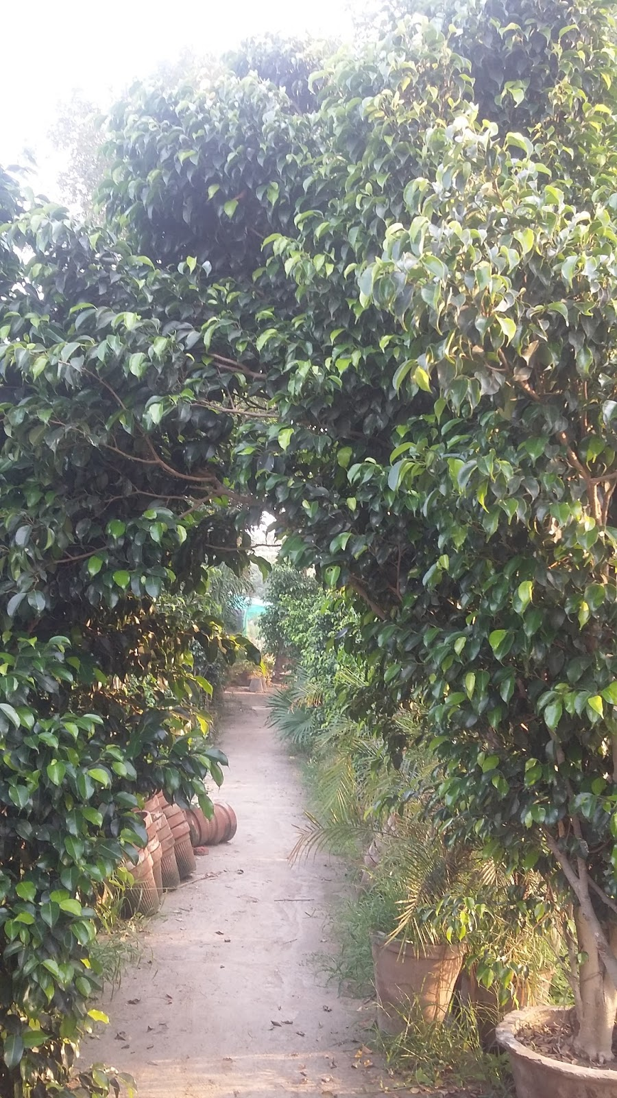 Greenworld Nursery Farm Pattoki Black Doarf Faxx