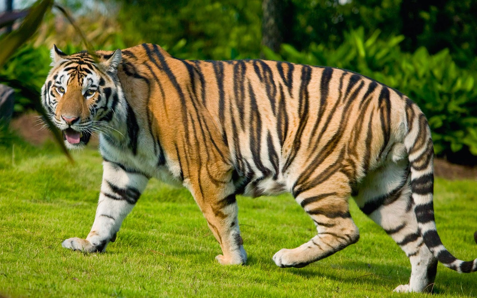 Bengal Tiger HD Wallpapers 2015 Free HD Wallpapers Download