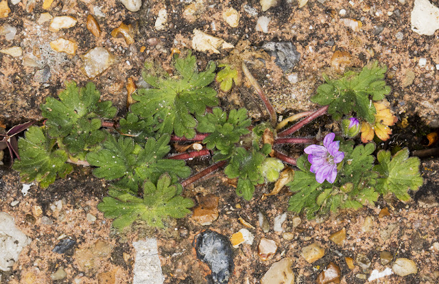 Dove's-foot Crane's-bill, Geranium molle.  Saville Row, Hayes, 28 April 2016.