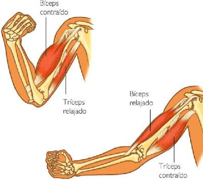 Dibujos de los músculos del brazo