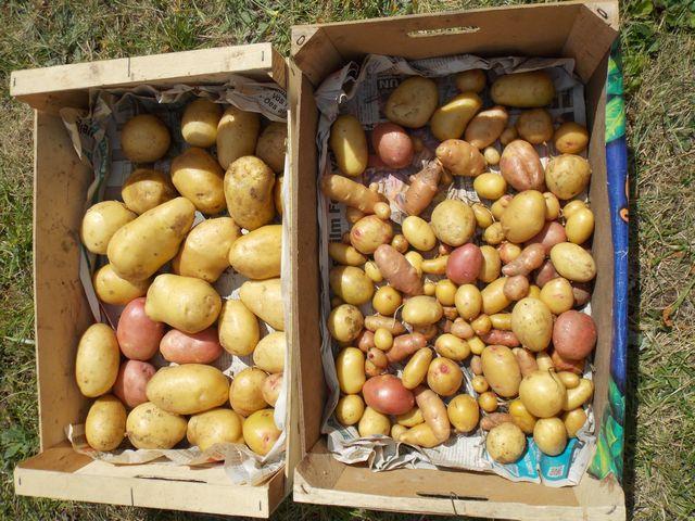 Première récolte de pommes de terre dans le nouveau jardin devant la maison