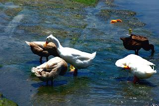 Funny Ducks Animal