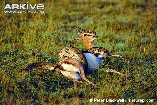Gazelle and Pyton