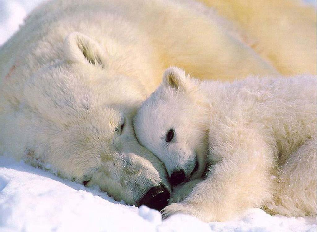 HD Animals: baby polar bear wallpaper