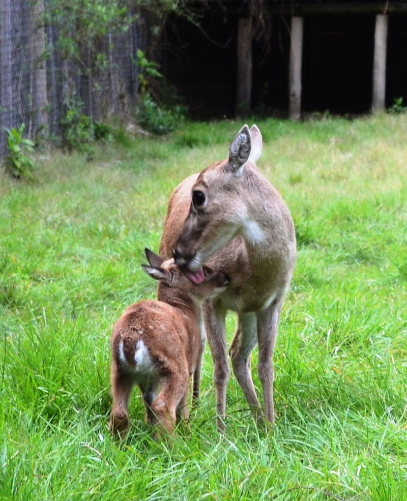 Baby Animals: Deer fawn 3