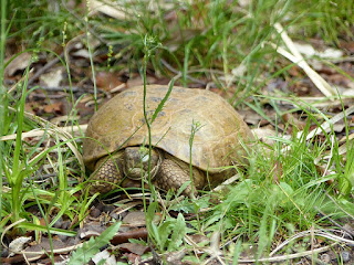 Tortue de Horsfield - Testudo horsfieldii - Agrionemys horsfieldii - Tortue russe - Tortue des steppes