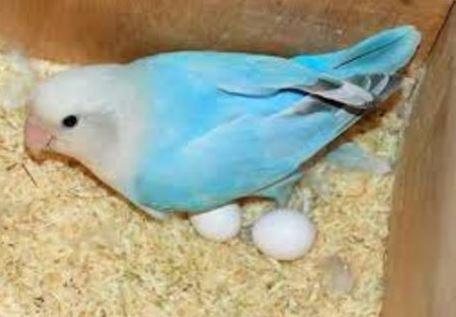 Makanan Lovebird Saat Bertelur