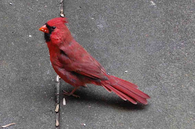 A Pomegranate for the Cardinals