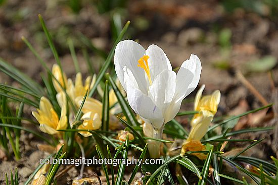 White crocus-closeup