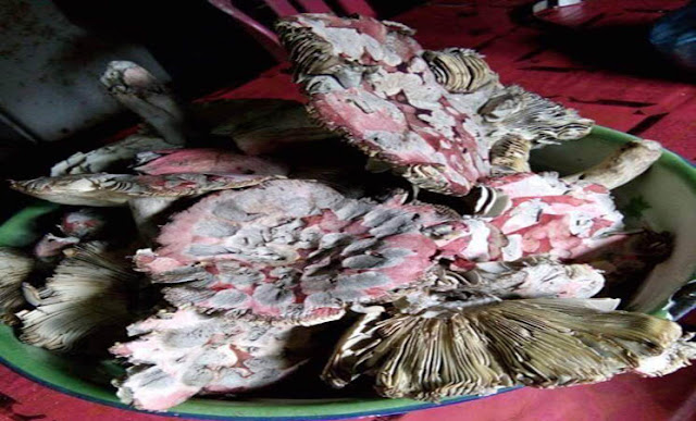 Fenomena Alam, Sayur Merah (Uta Mia) di Kepulauan Sula