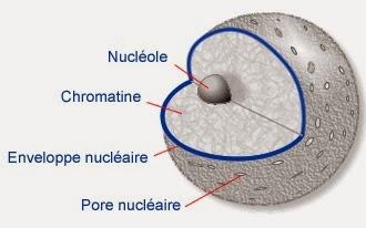 cours infirmier la cellule noyau composition schéma