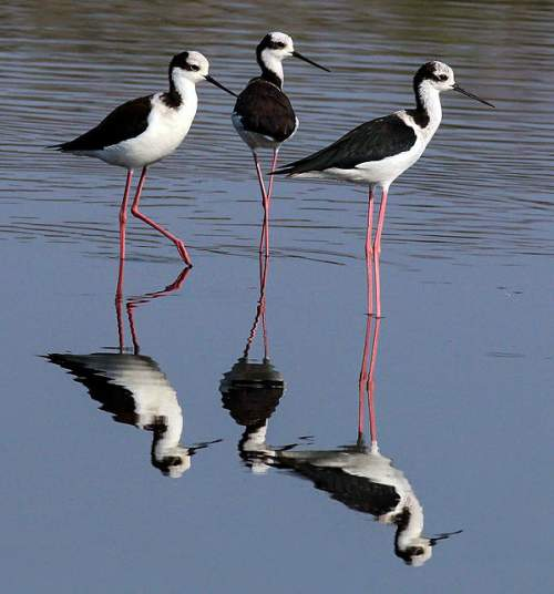 Birds of India - Photo of Black-winged stilt - Himantopus himantopus
