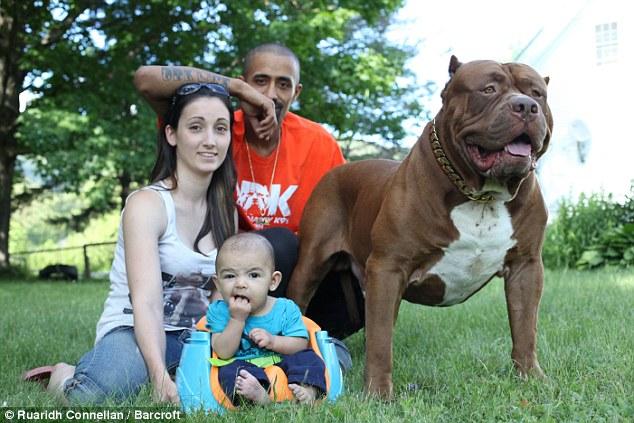 Trái với vẻ dữ dằn, chú chó pitbull khổng lồ nặng 76kg lại là một vú em đảm đang