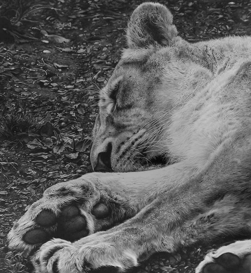 09-Serengeti-Slumber-Tigress-Julie-Rhodes-Wildlife-Animals-Realistic-Pencil-Drawings-www-designstack-co