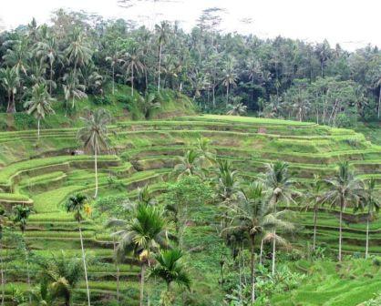 Ceking Tegallalang Rice-Fields Terraces