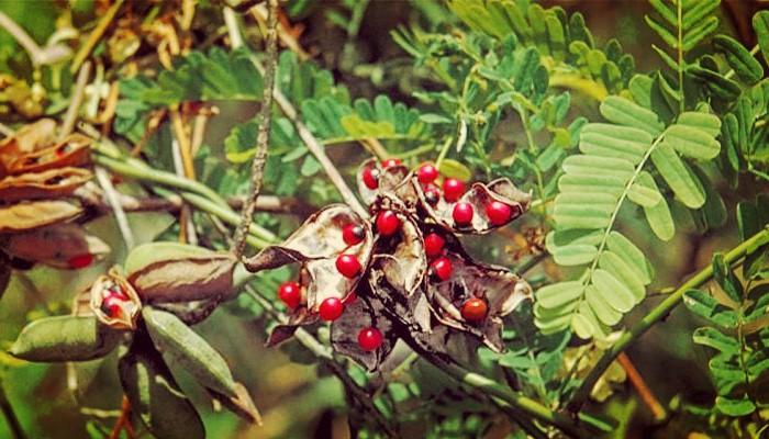 Venenosas plantas