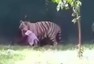 Tigre blanco mata a joven en Zoologico de la India
