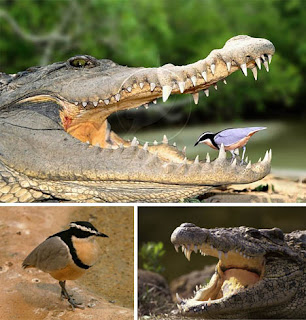 Foto Simbiosis mutualisme antara buaya dan burung plover