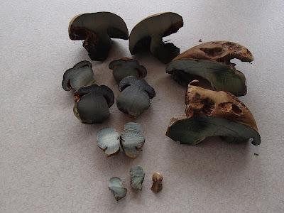grzyby majowe, grzyby w maju, grzyby na Orawie, grzyby pod Babią Górą, borowik ceglastopory, Boletus luridoformis, muchomor mglejarka, żmija w lesie, bacówka, oscypki, sery z bacówki