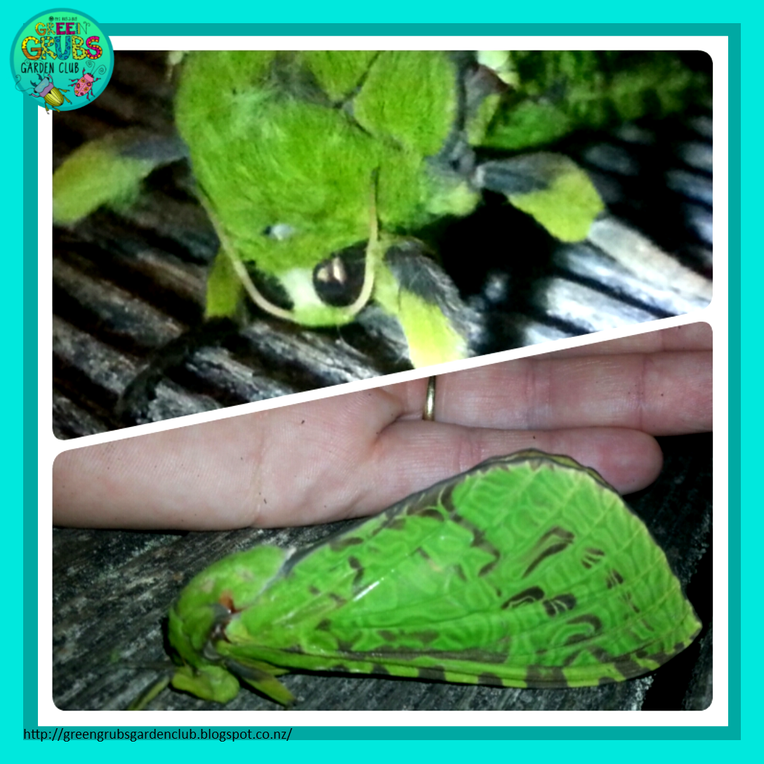 Green Grubs Garden Club Like A Moth To The Flame