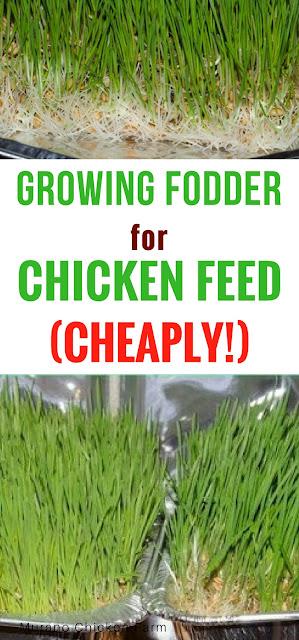 growing fodder | chickens