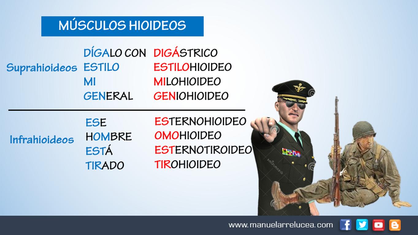 Anatom a y fisiolog a nemotecnias m sculos hioideos for Esternohioideo y esternotiroideo