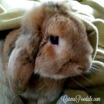 Lop-eared rabbit named PeanutBunny #CarmaPoodale